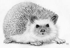 Hedgehog - pencil drawing