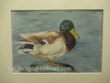 Watercolour of Mallard duck